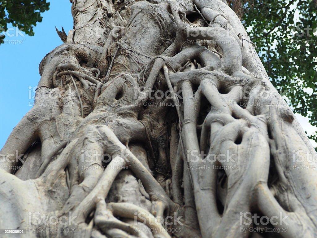 Closeup of banyan tree roots