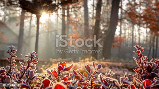 Close up of barberry leaves covered with morning frost