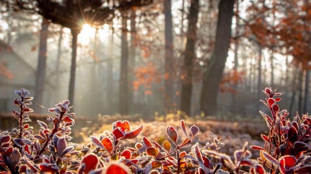 매 발톱 나무의 나뭇잎 아침 서 리로 덮여 - 서리 뉴스 사진 이미지