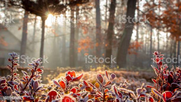 Photo of Closeup of barberry leaves covered with morning frost