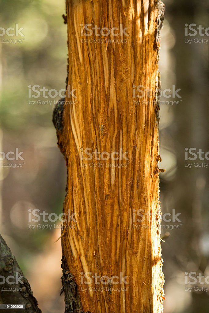 Closeup of bark wounds from moose rubbing velvet off, Maine. stock photo