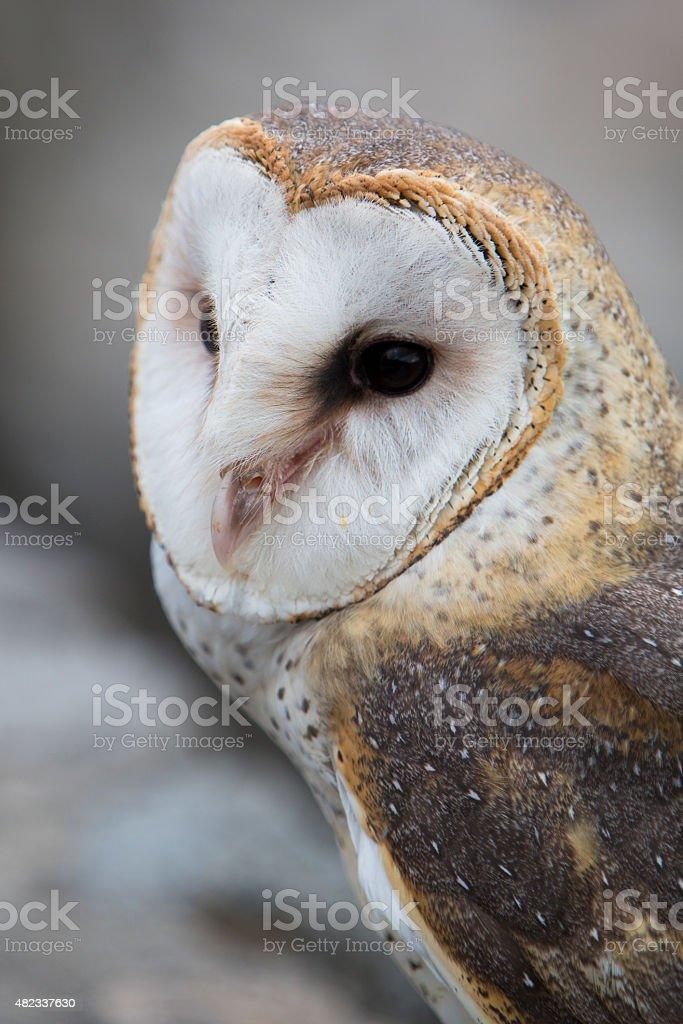 Closeup of Barn Owl stock photo