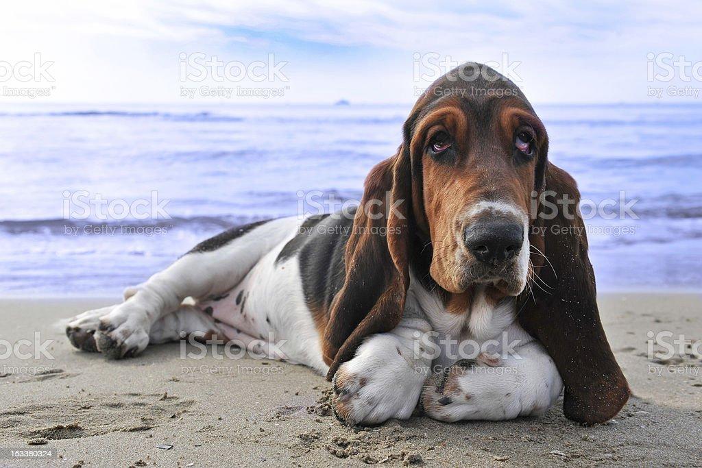 basset na plaży – zdjęcie