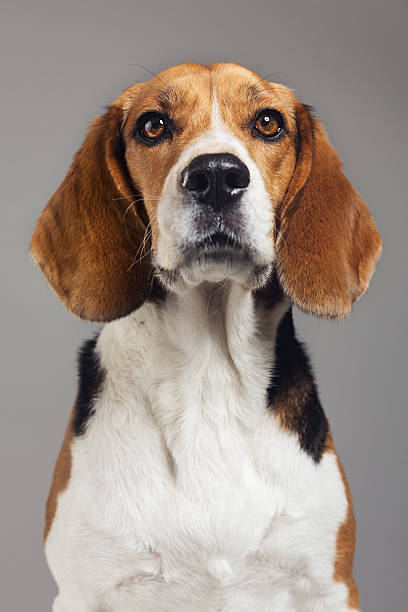 Close-up of Beagle against gray background – Foto