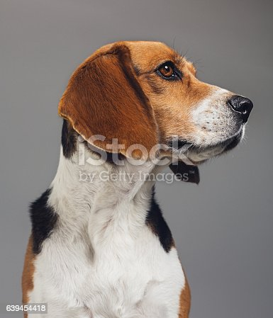 Close-up of a purebred Beagle. Pet animal is looking away. Dog against gray background. Vertical studio photography from a DSLR camera. Sharp focus on eyes.