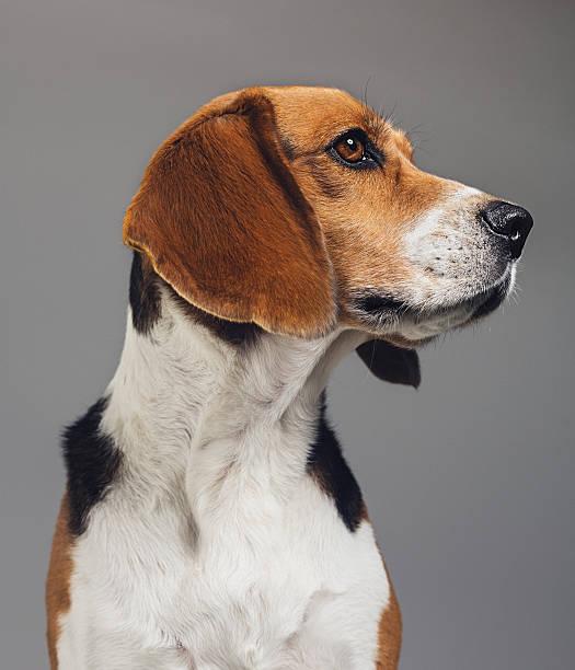 Closeup of beagle against gray background picture id639454418?b=1&k=6&m=639454418&s=612x612&w=0&h=wvc4burp7vrjfduolkctatzvuedpjvf8jwscm3zmbfc=