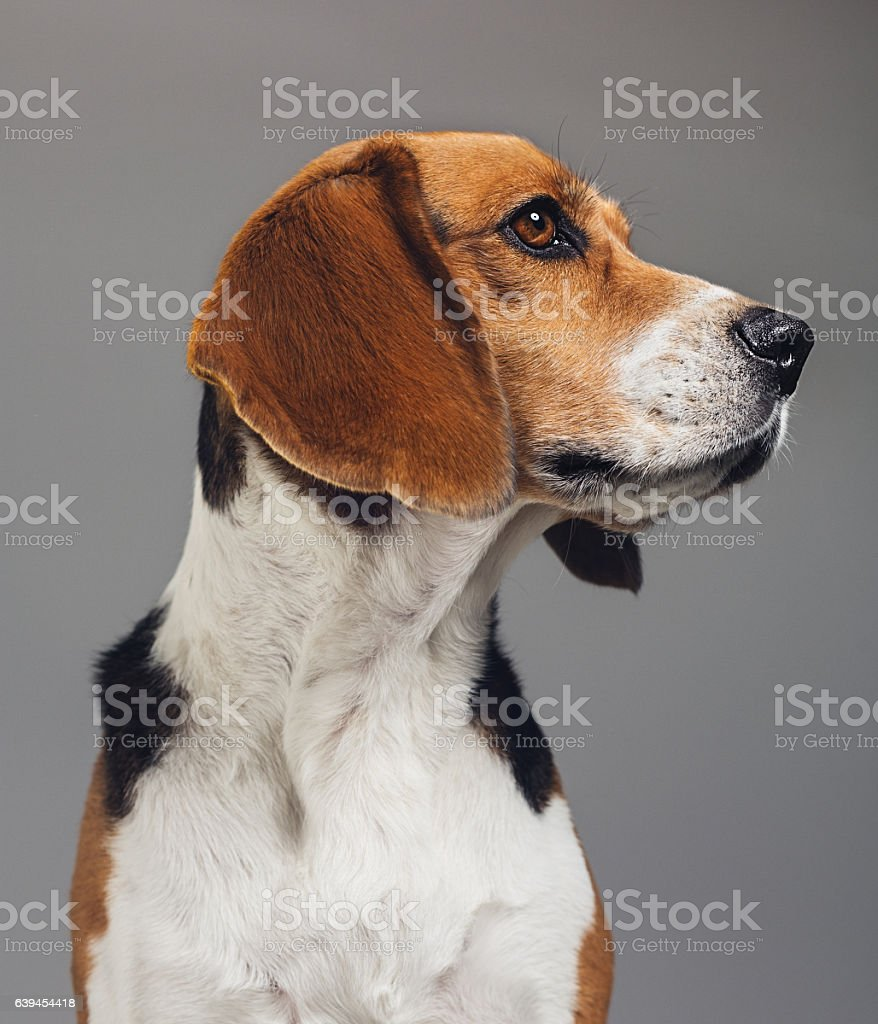 Close-up of Beagle against gray background - foto de stock