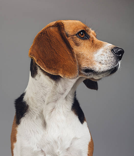 Close-up of Beagle against gray background Close-up of a purebred Beagle. Pet animal is looking away. Dog against gray background. Vertical studio photography from a DSLR camera. Sharp focus on eyes. beagle stock pictures, royalty-free photos & images