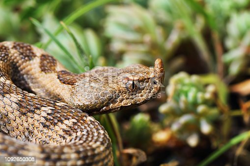 closeup of beautiful and dangerous european nose horned viper ( Vipera ammodytes )