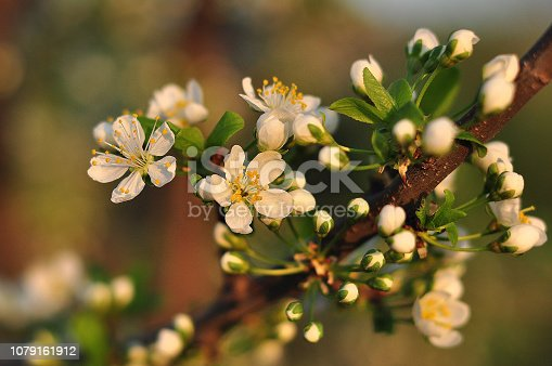 istock Closeup of beautiful blooming white apple tree blossom in sunlight. Tender apple (cherry or apricot) tree blossom 1079161912