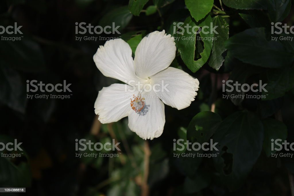 Closeup Of Beautiful Chinese Hibiscus Pure White Colour Flower In