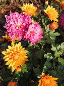 Close-up of beautiful orange and pink chrysanthemums on the flowerbed