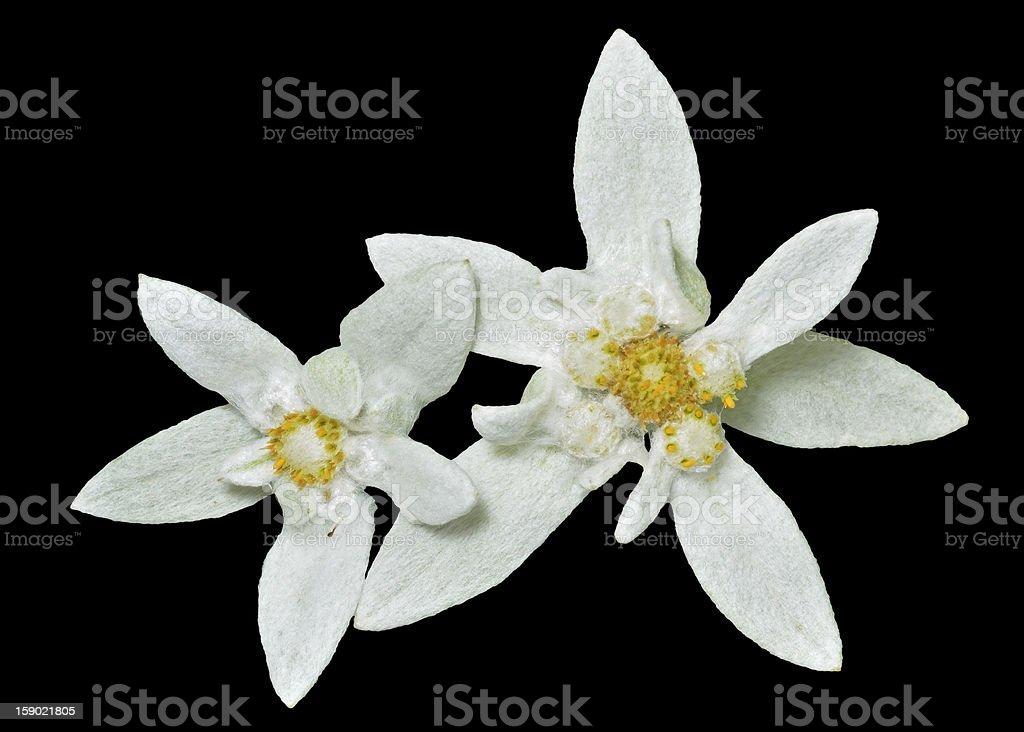 Close-up of beautiful Edelweiss stock photo