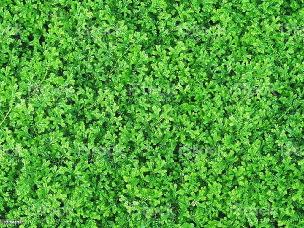 Closeup of Beautiful Natural Green Spikemoss / Moss / or Fern for Background, Backdrop, or Wallpaper. stock photo