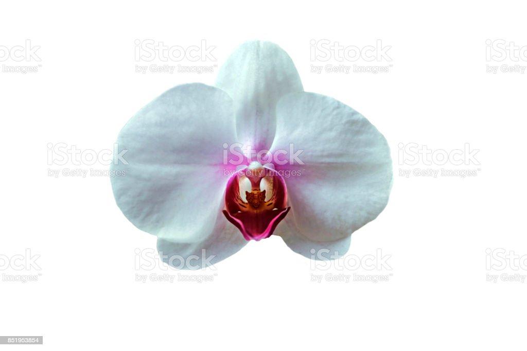 Closeup of beautiful perfect white Phalaenopsis Orchid isolated on white background. stock photo