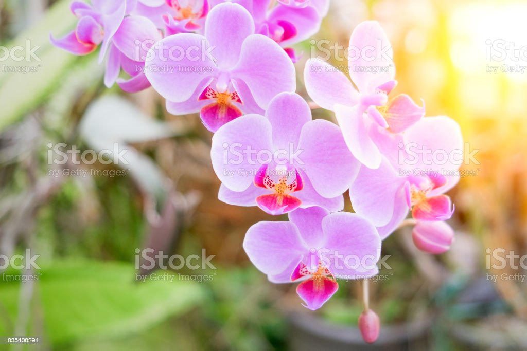 Close-up of beautiful pink phalaenopsis orchid flower with natural background in the garden stock photo
