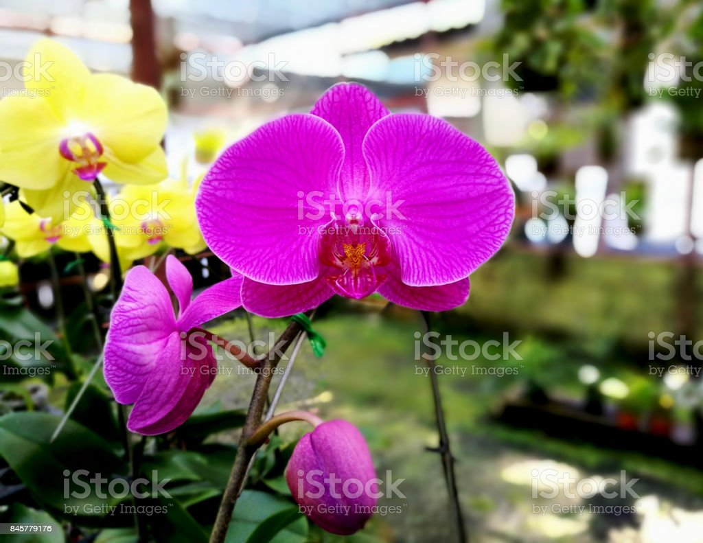 Closeup of beautiful pink Phalaenopsis Orchid in green garden background. stock photo