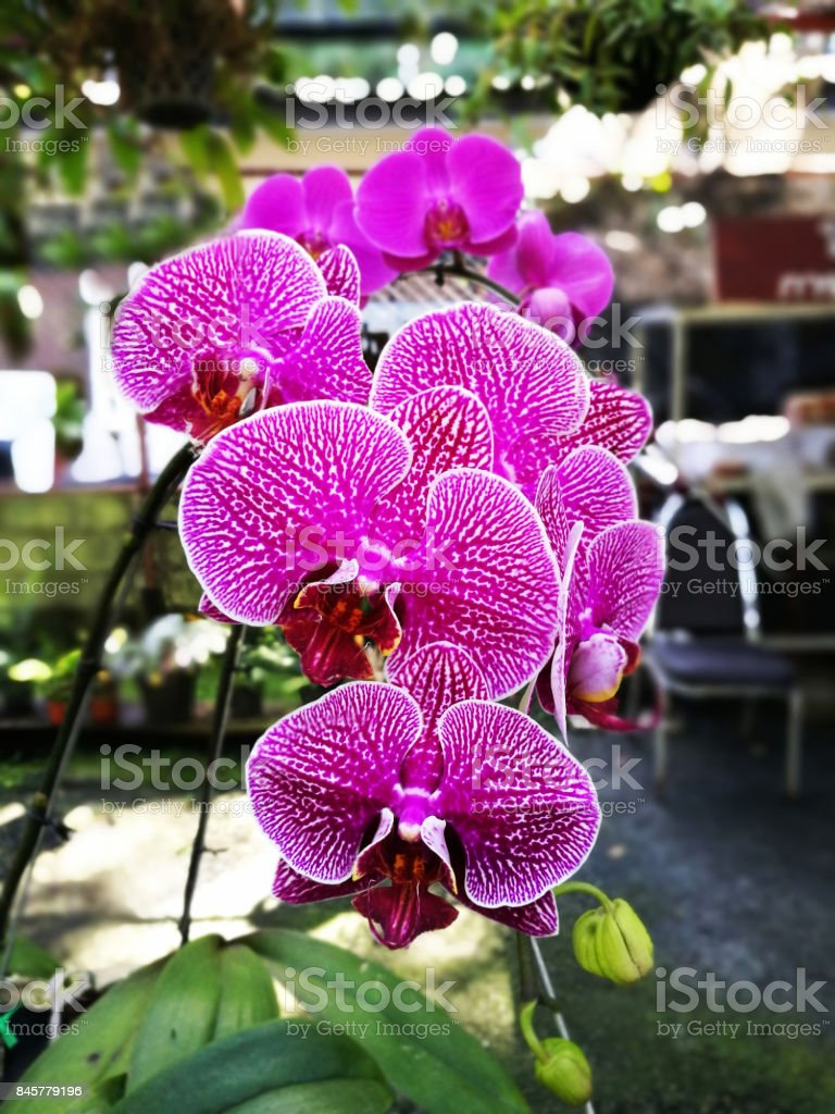 Closeup of beautiful pink striped Phalaenopsis Orchid in green garden background . stock photo