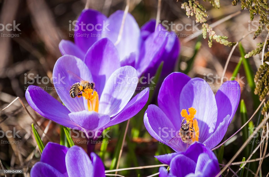 Closeup of beautiful purple Crocuses in the early spring, bees collect pollen on them stock photo
