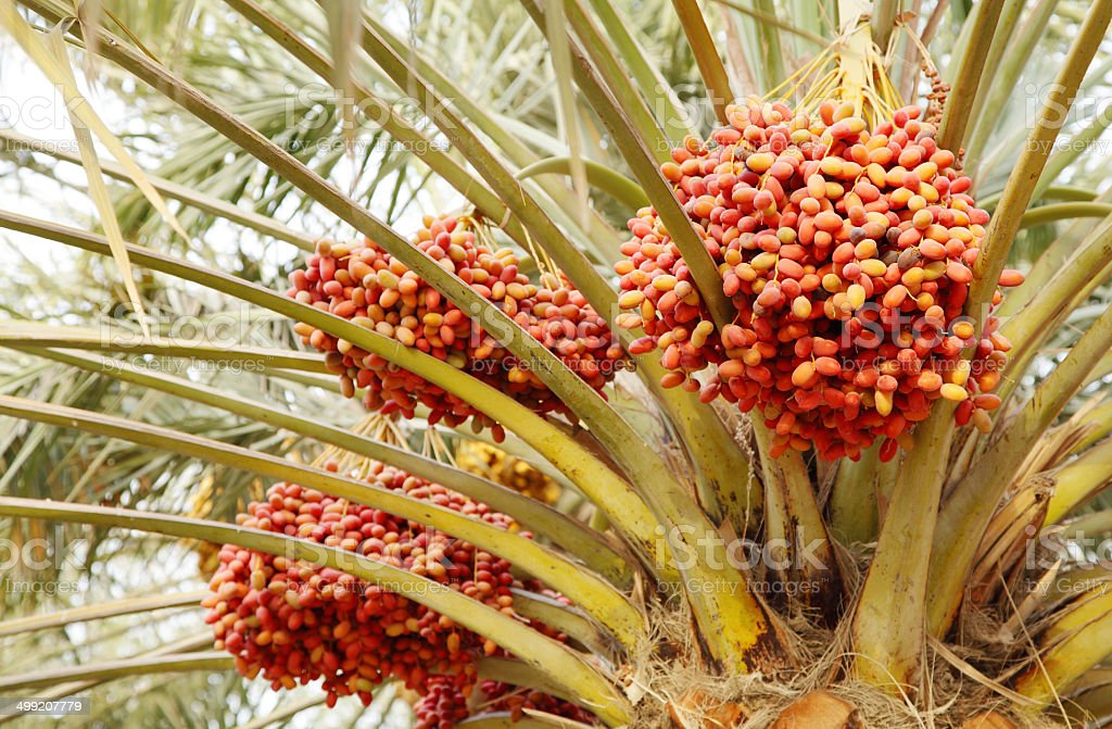 Closeup of beautiful red clusters of dates stock photo