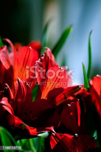 Closeup of beautiful red or scarlet Alstroemeria or Peruvian Lily flower buds macro with copy space. Selective focus. Moody floral concept. Vertical orientation