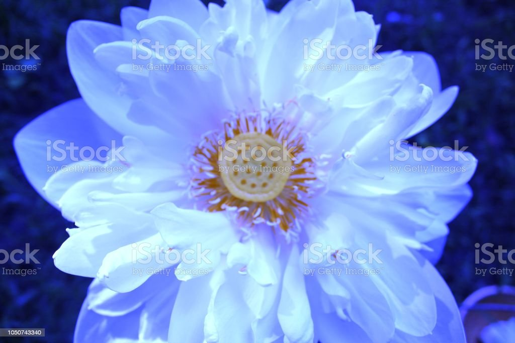 Closeup Of Beautiful White Lotus Or Water Lilly Single