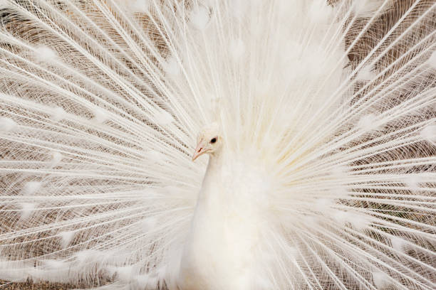 Close-up of beautiful white peacock with feathers out stock photo