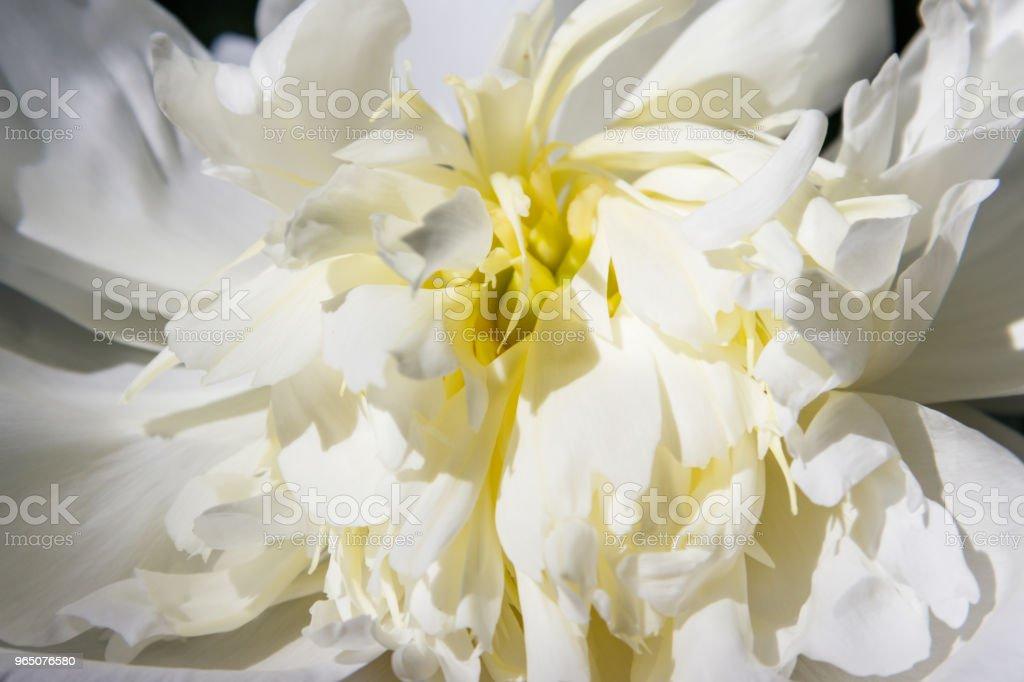 Close-up of beautiful white peony flower royalty-free stock photo