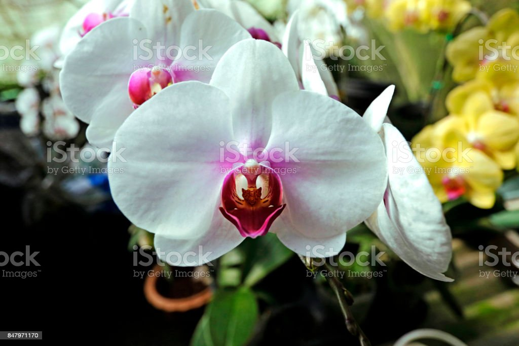 Closeup of beautiful white Phalaenopsis orchids stock photo