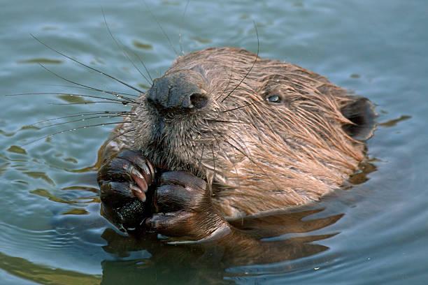 Gros plan de beaver - Photo