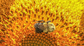 Closeup of bee crawling around on a large sunflower