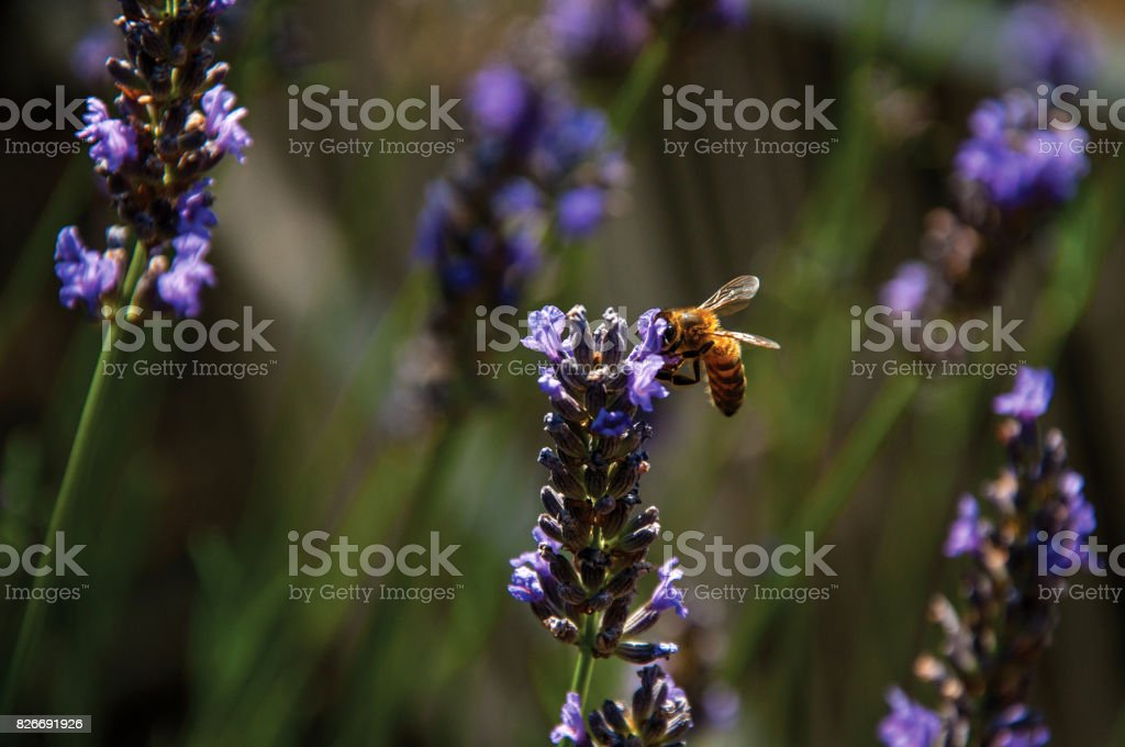 Close-up of bee on top of lavender flower in a garden at the village of Châteauneuf-du-Pape. stock photo