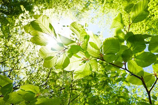 Closeup of beech leaves in springtime - Austria