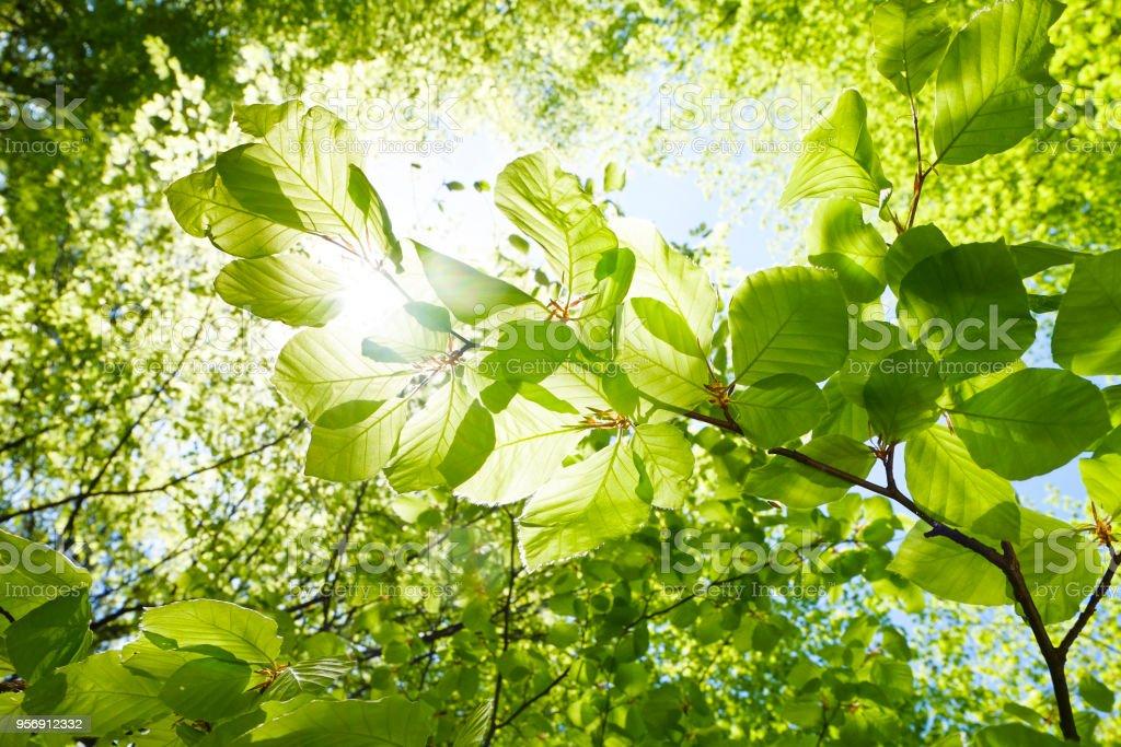 Nahaufnahme der Buche Blätter im Frühling - Österreich – Foto