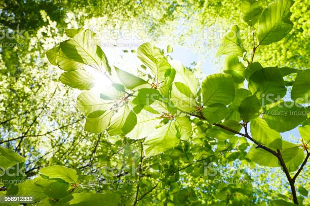 Photo of Closeup of beech leaves in springtime - Austria