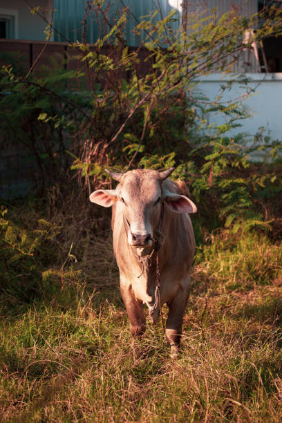 Closeup of Beefmaster cattle bull in Thailand stock photo