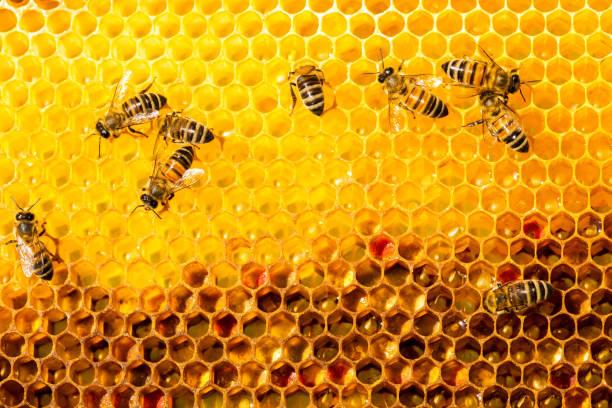 Nahaufnahme der Bienen in apiary auf Bienenwabe  – Foto