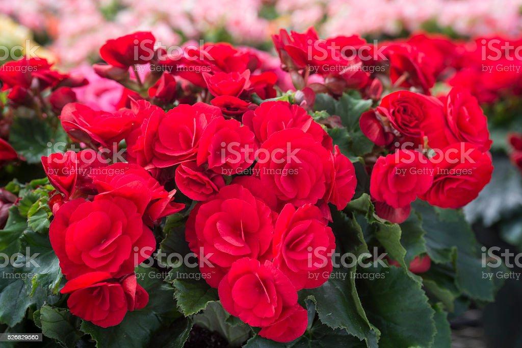 Close-up of Begonias que s'está convertido en Greenhouse - foto de stock