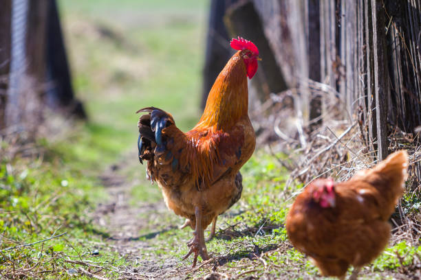 Close-up of big beautiful red well fed rooster proudly guarding flock of hens feeding in green grass on bright sunny day on blurred background. Farming of poultry, chicken meat and eggs concept. stock photo