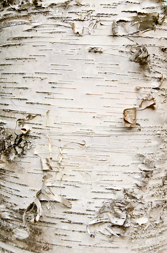 close up of the white paper birch bark tree. can be used as a background or texture