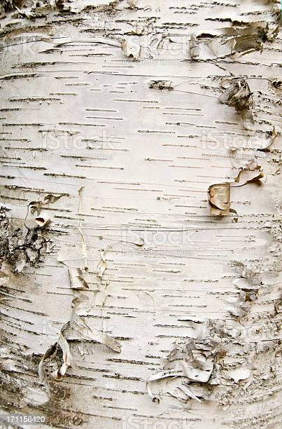 Photo of Close-up of birch bark peeling off the trunk
