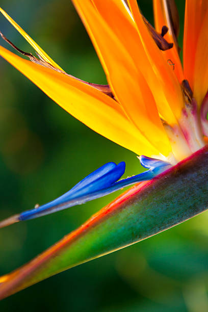 Close-up of Bird of Paradise Flower stock photo