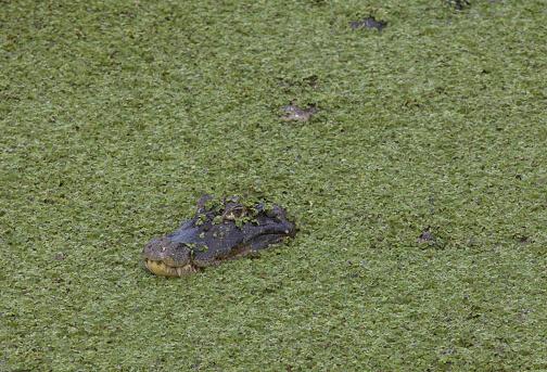 Alligator (jacaré do papo amarelo) in Rio de Janeiro, Brazil.
