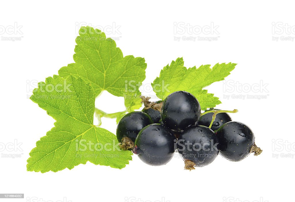 Close-up of black currant on vine isolated on white stock photo