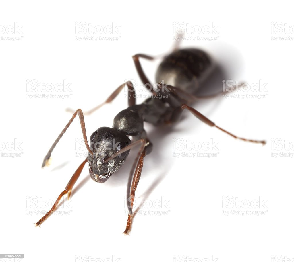 Close-up of black garden ant Lasius Niger stock photo