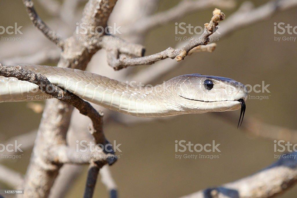 Closeup of Black Mamba snake stock photo
