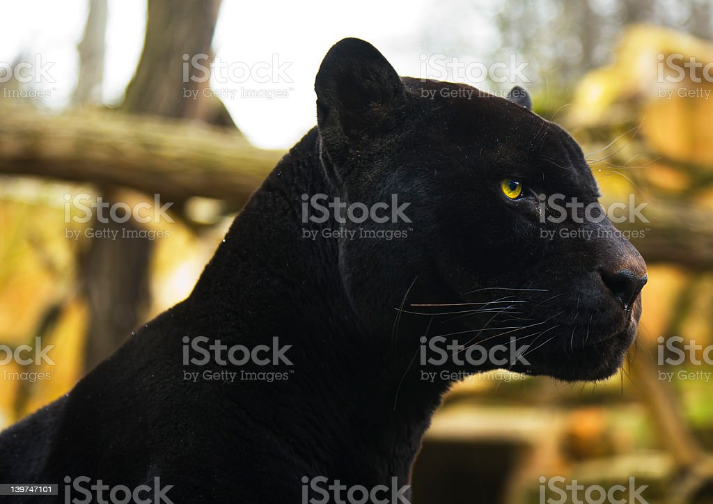 Close-up of black panther in the wild stock photo