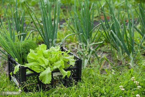 Closeup of black plastic container with fresh organic leave salad, onions and herbs from farm or garden. Nature background.