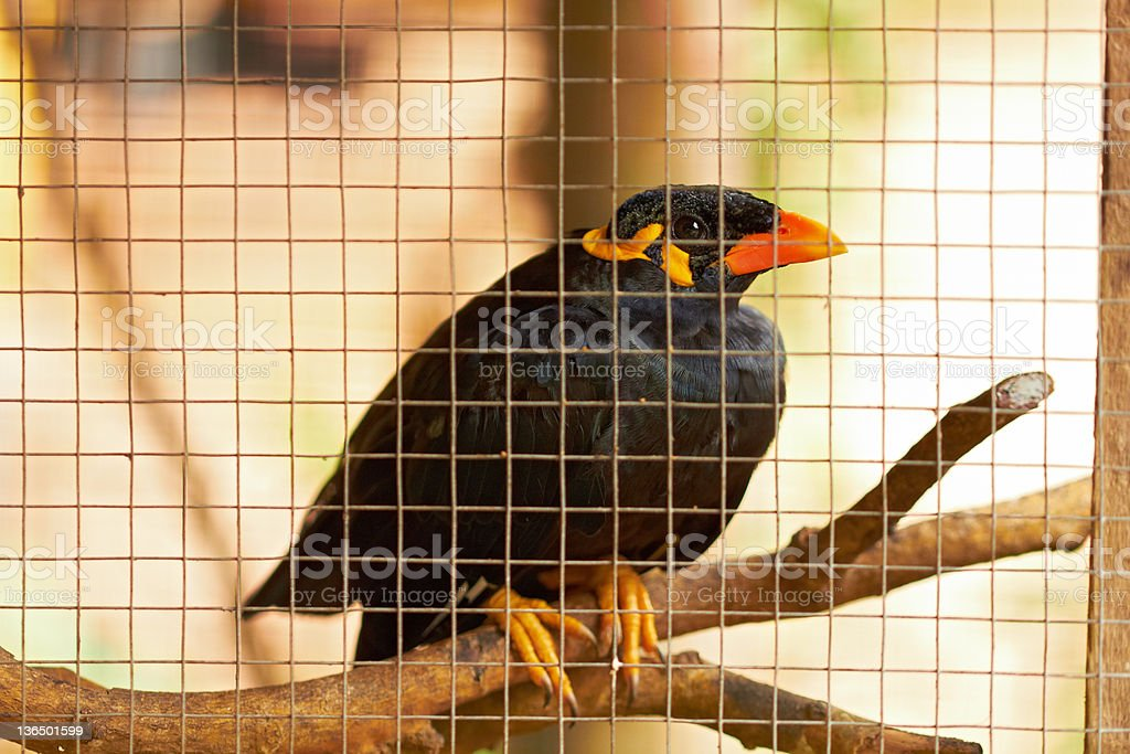 Closeup of black speaker bird in cage stock photo