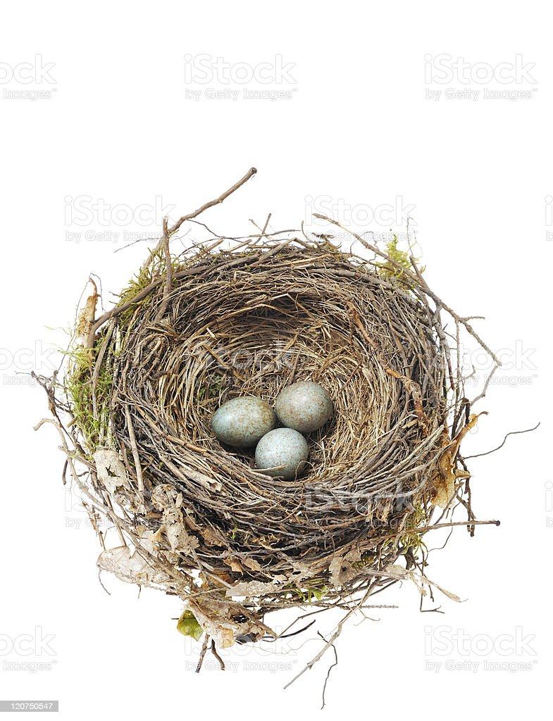 Close-up of blackbird eggs in nest on white background stock photo